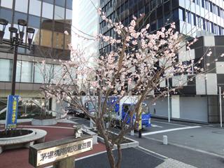 茅場橋の桜