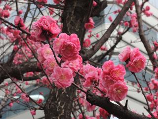 小網町で梅が咲きました