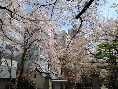 浜町緑道の桜
