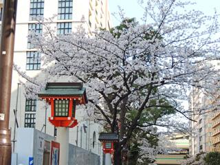 水天宮前の桜